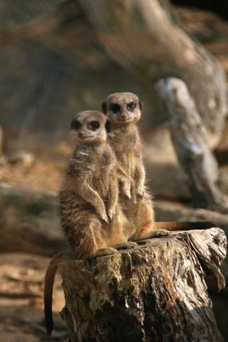 Meerkats at Durrell Wildlife Conservation Trust Jersey